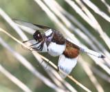 Widow Skimmer - Libellula luctuosa