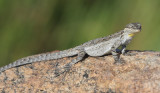 Ornate Tree Lizard - Urosaurus ornatus