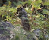 Rock Squirrel - Spermophilus variegatus