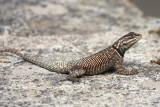 S E Arizona Reptiles and Amphibians