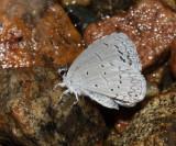 Southwestern Azure - Celastrina echo cinerea