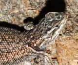 Yarrow's Spiny Lizard - Sceloporus jarrovi