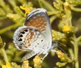 Western Pygmy Blue - Brephidium exilis