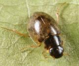 Laccobius sp.