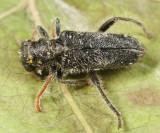 Phyllobaenus sp.