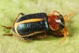 Collops limbellus