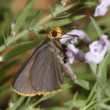 Orange-edged Roadside-Skipper - Amblyscirtes fimbriata