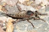 Efferia sp.