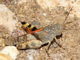 Arroyo Grasshopper - Heliastus benjamini (female)