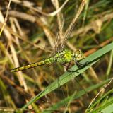 Western Pondhawk - Erythemis collocata