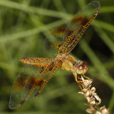 Mexican Amberwing - Perithemis intensa (female)