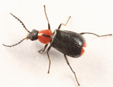 Malachiinae
