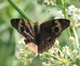Dark Buckeye - Junonia evarete nigrosuffusa