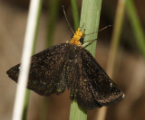 Golden-headed Scallopwing - Staphylus ceos