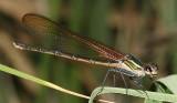 Canyon Rubyspot - Hetaerina vulnerata (female)