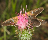 Moon-marked Skipper - Atrytonopsis lunus