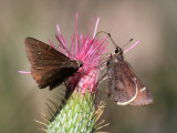 Moon-marked Skipper & Northern Cloudywing - Atrytonopsis lunus