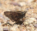 Gold-costa Skipper - Cogia caicus
