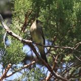 Western Wood-Pewee - Contopus sordidulus