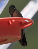 Magnificent Hummingbird - Eugenes fulgens (female)