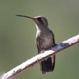 Broad-billed Hummingbird - Cynanthus latirostris (female)