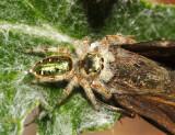 Paraphidippus aurantius (female)