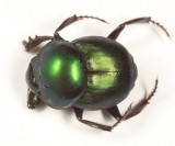 Scarab Beetles - Subfamily Scarabaeinae - Dung Beetles