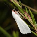 8253 - Pygarctia roseicapitis