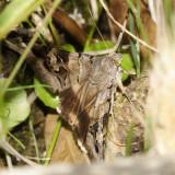 8600 - Melipotis indomita