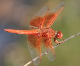 Flame Skimmer - Libellula saturata (male)