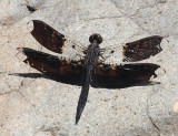 Filigree Skimmer - Pseudoleon superbus (male)