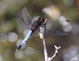 Plateau Dragonlet - Erythrodiplax basifusca