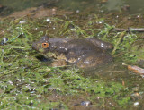 American Bullfrog - Rana catesbeiana (covered in mud)