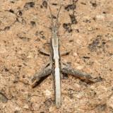 Slender Range Grasshopper - Acantherus piperatus