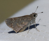 Sheep Skipper - Atrytonopsis edwardsi