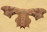 7653 - Brown Scoopwing - Calledapteryx dryopterata