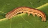 10431 - Wheat Head Armyworm - Dargida diffusa