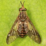 Chrysops celatus