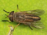 Tabanus similis (female)