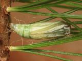 6906 - False Hemlock Looper pupa - Nepytia canosaria