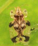 Cherry Lace Bug - Corythucha pruni