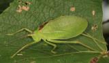 Common True Katydid - Pterophylla camellifolia