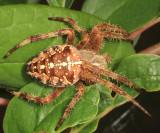 Cross Orbweaver - Araneus diadematus