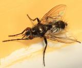 Admontia sp.