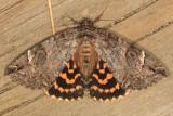 8719 - Locust Underwing - Euparthenos nubilis