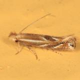 0522 - Bucculatrix angustata