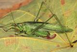 Treetop Bush Katydid - Scudderia fasciata