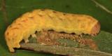 10301 - Otter Spiramater - Spiramater lutra