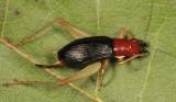 Red-headed Bush Cricket - Phyllopalpus pulchellus (female)