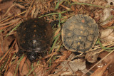 Spotted Turtles (hatchlings) - Clemmys guttata